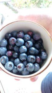 ブルーベリーの収穫の写真